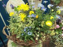 明るい黄花を際立たせるブルーの花との寄せ植え