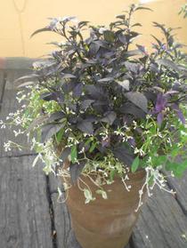 美しきトウガラシの寄せ植え