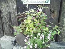 花を引き立てる カラーリーフたちの寄せ植え
