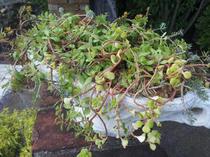 セダムを使った夏の寄せ植え