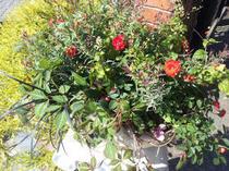 秋の実もの・ジュズサンゴとミニバラの寄せ植え