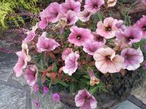 秋だって!ペチュニア「あずき」の寄せ植え