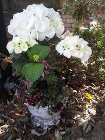 アジサイ「ゼブラ」の寄せ植え