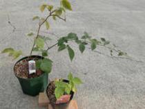 ラズベリー〔木イチゴ〕 落葉低木