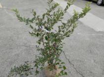 ブルーベリー 落葉低木