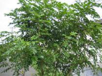シマトネリコ 〔常緑高木〕