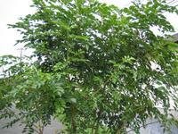 090815_.樹木シマトネリコJPG