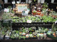 090815_鉢花多肉植物1.JPG