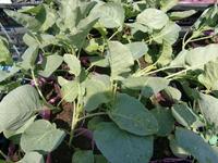 090906_野菜ブロッコリー2.JPG