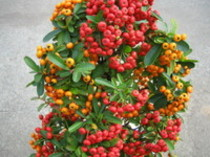 秋を彩る実付き花木