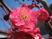 春を告げる人気花木、梅