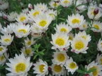 花も蕾も魅力的!!ペーパーキャスケード