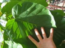 人気の観葉植物「ウンベラータ」