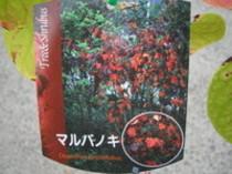 紅葉がすばらしいマルバノキ!