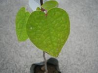 IMG_樹木ーマルバノキ1.JPG