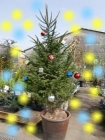 クリスマスツリーに!モミノキ♪