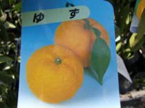 珍しい柚子(とげなし柚子)