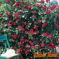 濃紅のバラ ルージュピエールドゥロンサール