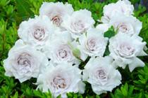 純白のバラ ガブリエル