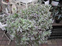 人気の観葉植物「トラディスカンチア」