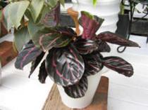 珍しい観葉植物『カラテア ドッティー』