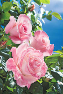 2011秋のバラ祭り開催!!
