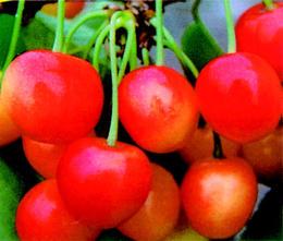 cherrysaori.jpg