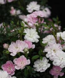 Landscape Rose『プリンセスピーチ』