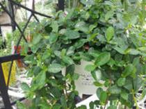 夏をオシャレに!さわやかに!「ミニ観葉植物」