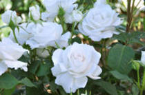 ドリュ Dorieux imagine la rose
