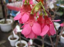 庶民に古来から愛されている樹木『桜』!!