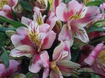 季節の花 アルストロメリア