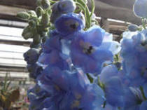 雄大な花!デルフィニウム!!