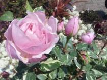 ヘルシューレン~Hybrid Tea Rose Vershuren~