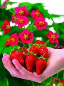 四季成りイチゴ『トスカーナ』