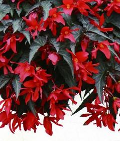 begonia-summerwing201501.jpg