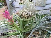 不思議な植物エアープランツ『チランジア』