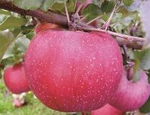 りんご『ルビースイート』