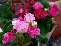 プリムラ・ジュリアン~プレミアムなバラ咲き~