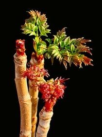 トゲなし赤芽タラ『七島タラの木』