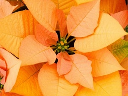 poinsettia gold20161003.jpg