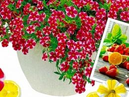 strawberryslice2017haru.jpg