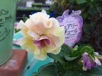 八重咲きパンジー『フェアリーチュール』