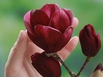 2018春おすすめ花木「ハイブリッドモクレン&常緑ヤマボウシ」