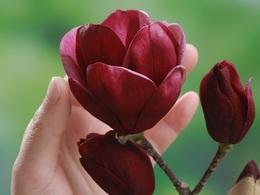 magnoliajenie20180303.jpg