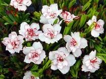 球根『八重咲きオキザリス「シンデレラムーン」』