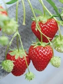 イチゴ苗『夏っちゃん』
