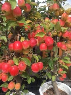 11月おすすめ長寿紅りんご.jpg