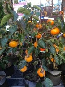 11月のおすすめ「季節限定『実付き果樹』」