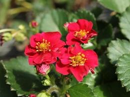 roseberryred20190301.jpg